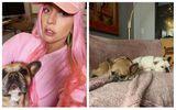 Câinii lui Lady Gaga au fost găsiți de polițiști, după ce au fost furați și bărbatul care-i plimba a fost împușcat