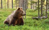"""Preşedintele CJ Harghita, în Parlamentul European, privind problematica urşilor: """"Trebuie asigurate condiţiile pentru protecţia vieţii umane, siguranţa publică şi prevenirea daunelor"""""""