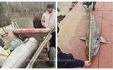 Sturion de 140 de kilograme, descoperit de poliţiştii de frontieră în căruţa unor braconieri