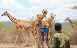 Momentul în care o girafă şi puiul ei au fost salvaţi de pe o insulă inundată. Finalul fericit al unui proiect de 15 luni, în care 9 animale pe cale de dispariție au fost de la înec VIDEO