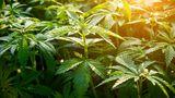 Legalizarea consumului de canabis în scop medicinal, discutată în Parlament