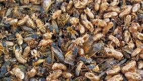 Trilioane de creaturi, care au stat 17 ani sub pământ, vor ieși la suprafață. Cum se vor comporta