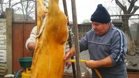Minune într-o gospodărie din Sălaj! Ce a găsit un bărbat înauntru porcului pe care tocmai îl tăiase