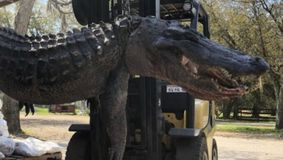 Un mister vechi de peste două decenii a fost rezolvat după ce un vânător a capturat un aligator! Ce a găsit în stomacul fiarei e şocant