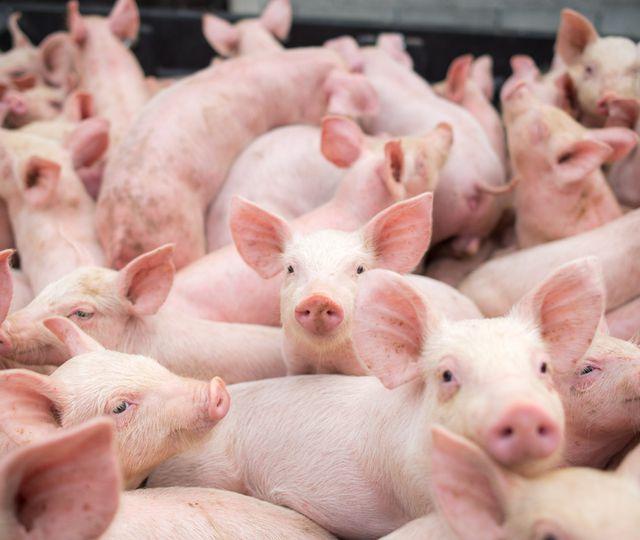 Încă un focar de pestă porcină în România. 28.000 de animale urmează să fie sacrificate